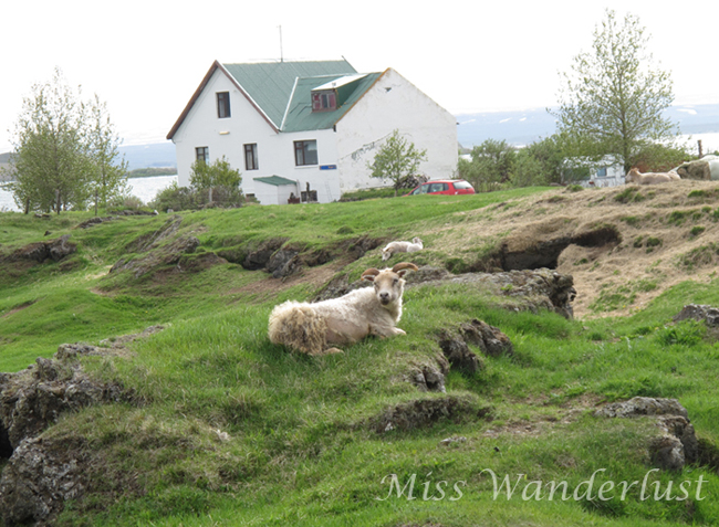 12.icelandic-sheep-myvatn