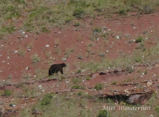 Waterton-National-Park-Bear