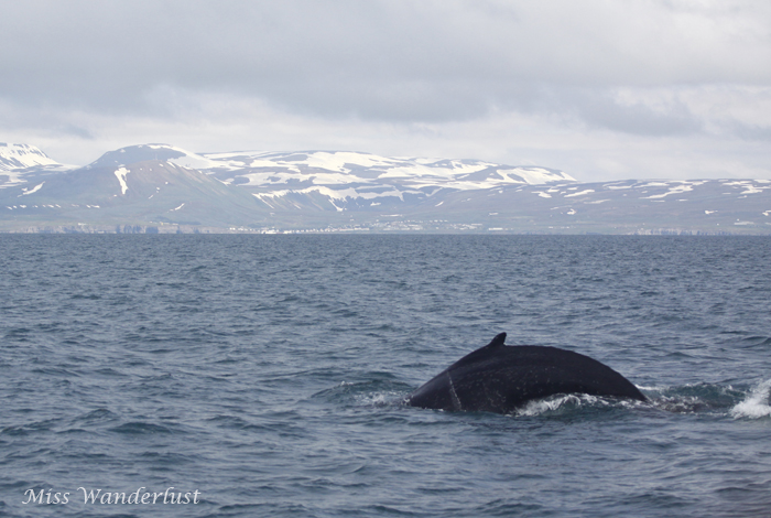 husavik-whale-watching-tour-1