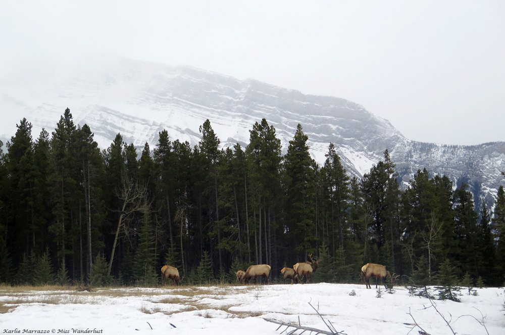 banff-wildlife