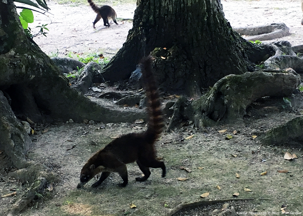 two white nosed coati with long tails in tikal national park